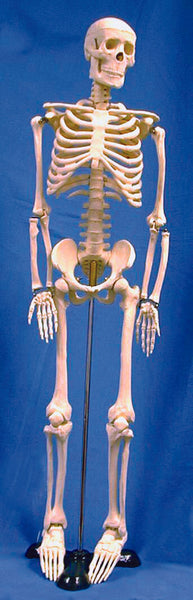 Human Skeleton Model - lyonscientific