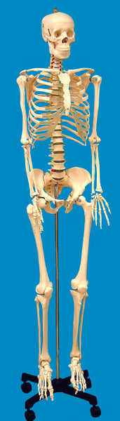 Life-Sized Human Skeleton Model - lyonscientific