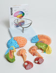 Human Brain Model, 8-Part - lyonscientific