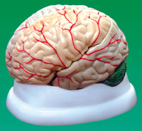 Brain Model, 3-Part - lyonscientific