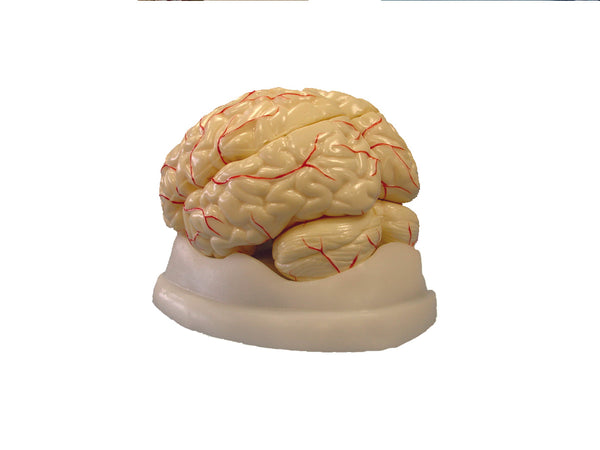 Brain Model, 8-Part - lyonscientific