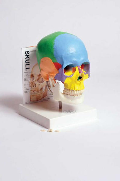 Human Skull Model with Fold-Out Guide