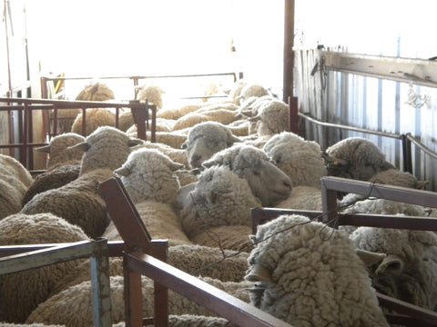 WeatherWool has sourced wool from Russell Leonard Ranch