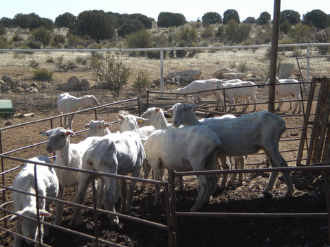 Sheep at Russell Leonard Ranch, one of the wool sources for WeatherWool