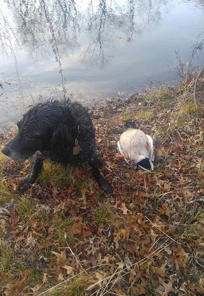 Camo (Rainey River's Carmella), a Large Munsterlander (German Versatile Hunting Dog), will always be The Official Dog of WeatherWool. She was 19 years old when her heart finally gave out. Camo will not be forgotten.