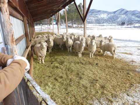 WeatherWool is made from fleece grown by these sheep on the Jewell Ranch in Colorado