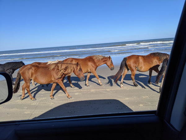 Wild Horses on the Beach in Corolla, North Carolina (Outer Banks).  I was looking for places to photograph the wool, and the horses surprised me!