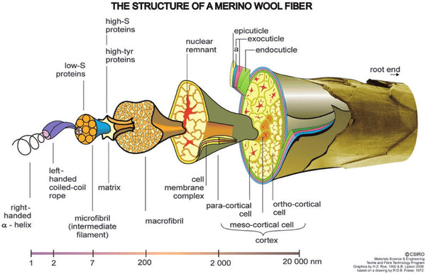 WeatherWool thanks Australia's Commonwealth Scientific and Industrial Research Organisation for this diagram of the structure of a merino wool fiber