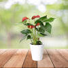 Ruby Red Potted Anthurium, floral gift baskets, gift baskets, potted plant gift basket