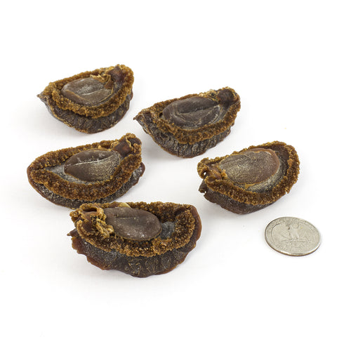 Japanese Iwate Dried Abalone #585