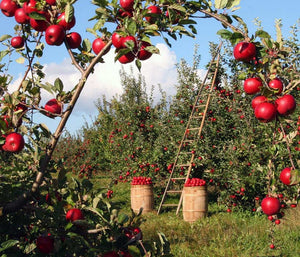 apple harvest at a southwest michigan orchard