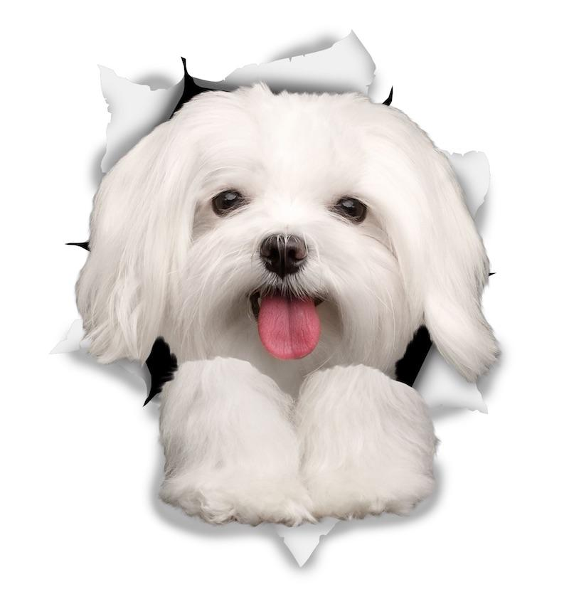 Cute Maltese Decals