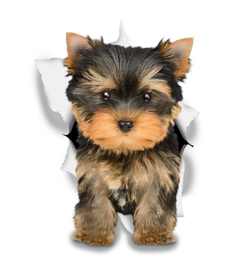 Adorable Yorkie Decals - Yorkshire Terrier