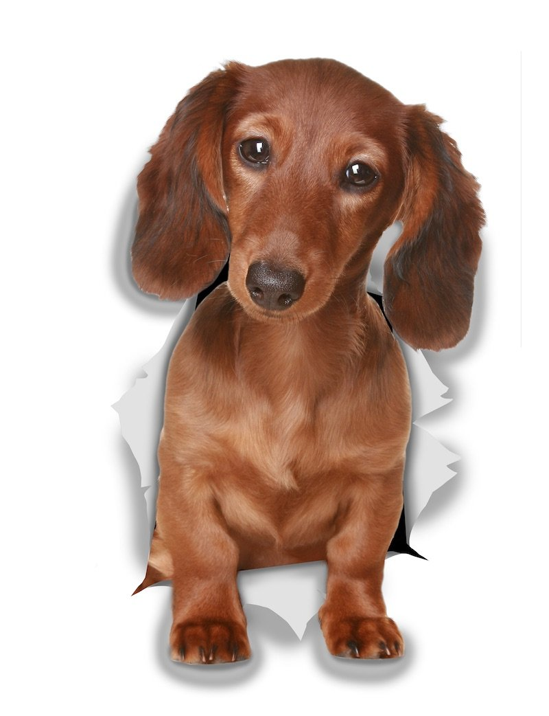Adorable Dachshund Decals