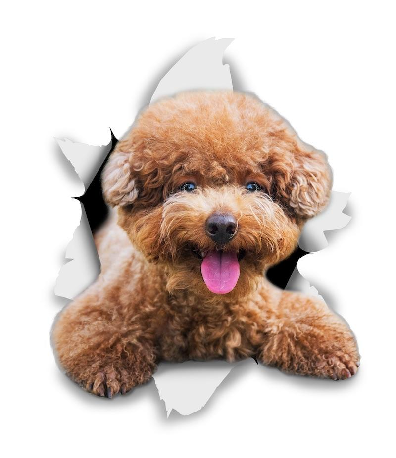 Smiling Brown Poodle Decals