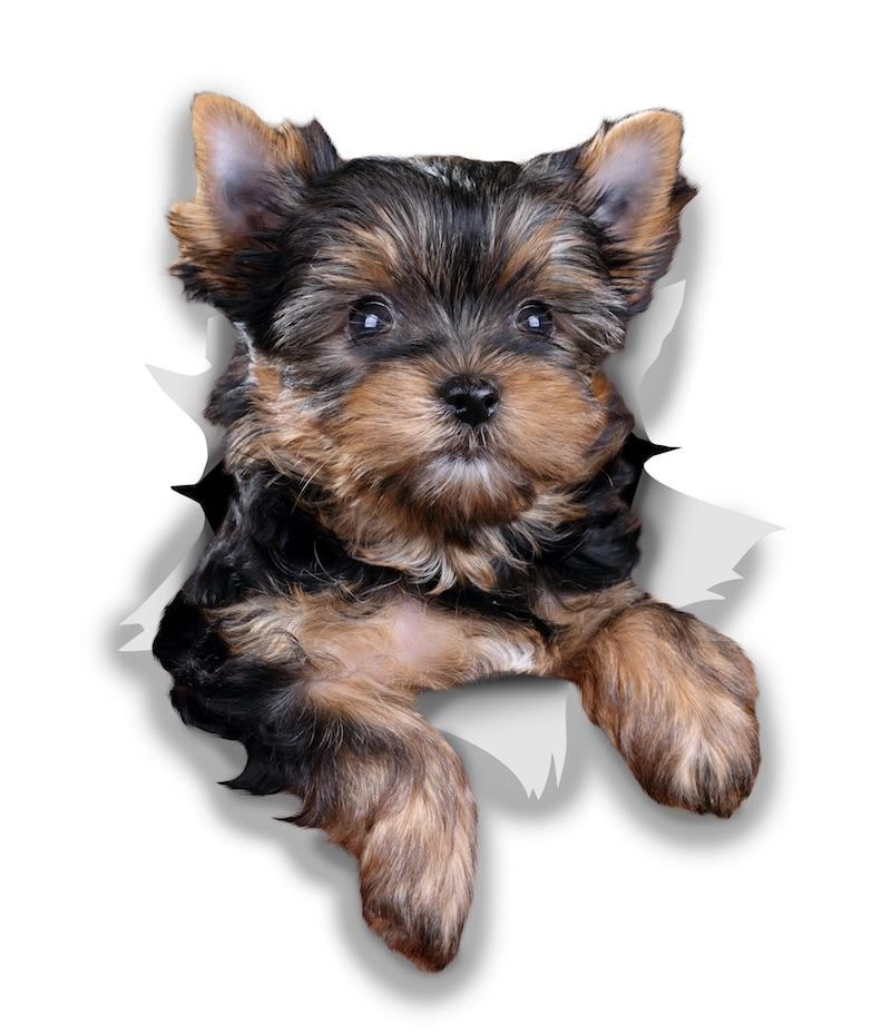Cute Yorkshire Terrier Decals