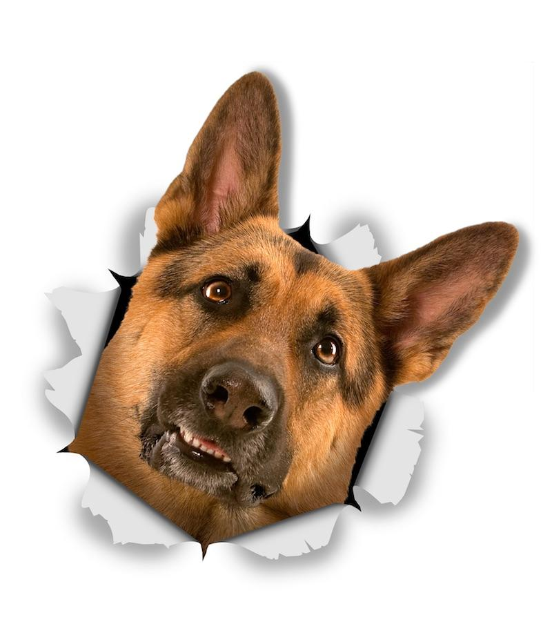 Curious German Shepherd Decals