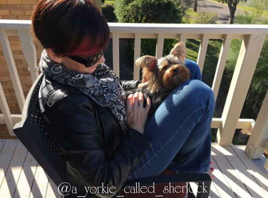 a yorkie called sherlock pet interview shell sherree