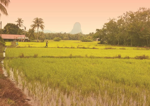MLS 01 - Paddy Field in Perlis