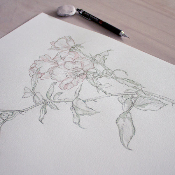 Wild Rose Drawing Study
