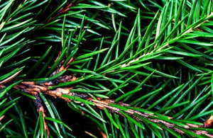 Balsam fir needles