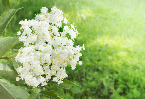 Elderflower flower