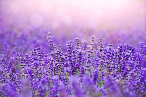 Lavender Fields - Candle