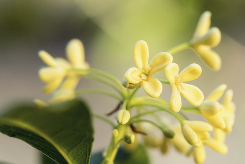 Olive Blossom - Candle