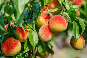 LAST CHANCE! O-Henry Peaches South Carolina Tree Ripened 1/2 bushel        Pickup Now - Aug 13