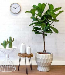 Fiddle Fig Leaf Tree - Image via Pinterest