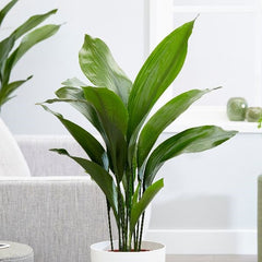 Cast Iron Plant - Safe Plants for Pets - Image via https://www.crocus.co.uk/plants/_/aspidistra-elatior/classid.2000027225/