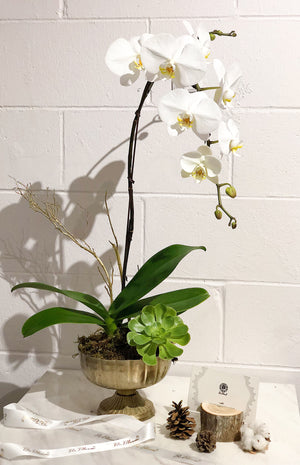 """Holiday"" Orchids - Gold Pot"