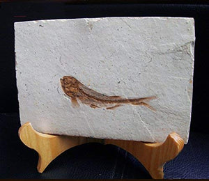 Fish Fossil Real Comes from The Western Liaoning China 150 Million Years Ago Lycoptera