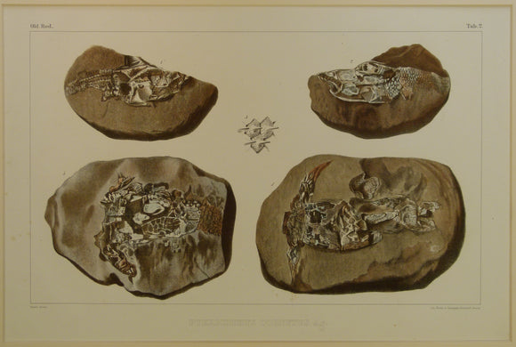 Agassiz, Louis, 1844-45. Pterichtys Cornutus Ag. Plate 2 from [Fossil Fish] Monograph des Poissons Fossiles