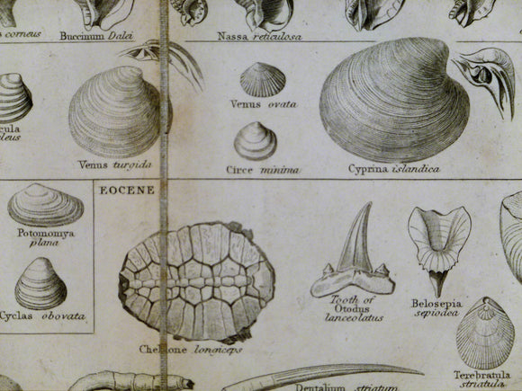 Lowry, Joseph Wilson. 1853. Tabular view of Characteristic British Fossils, Stratigraphically Arranged