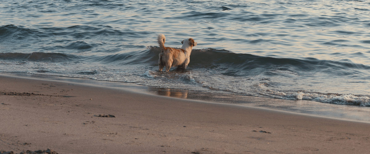 dog in waters edge