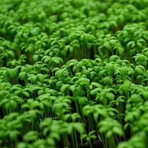 Curly Cress Microgreens