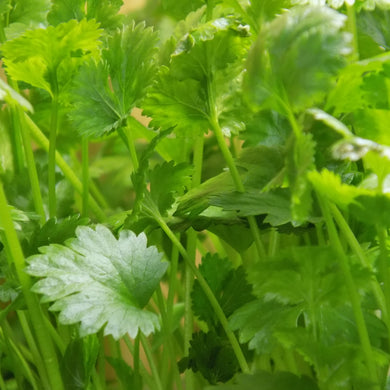 Home Grown Cilantro