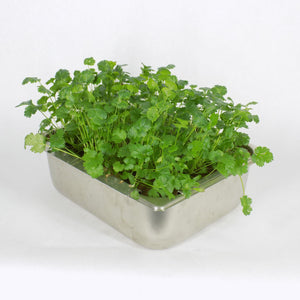 Cilantro in Tray