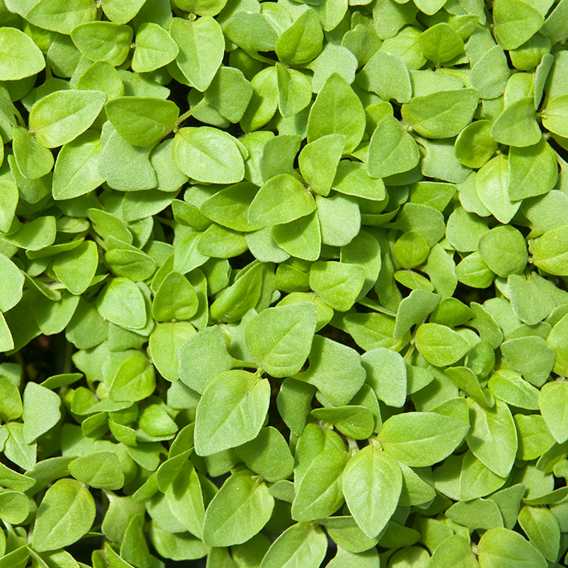 Lemon Basil Microgreens