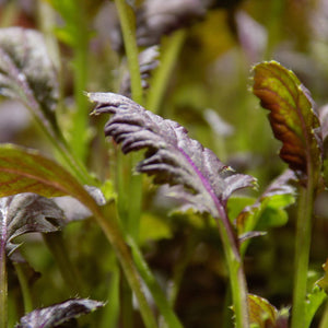 Purple Mustard Microgreens