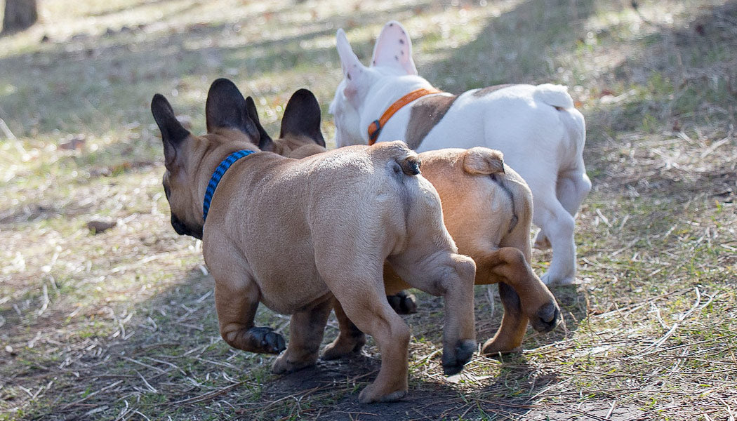 Dog Itchy Butt: How to Check It
