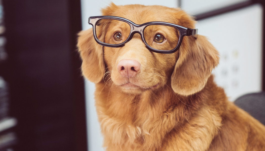Dog in glasses ready to work