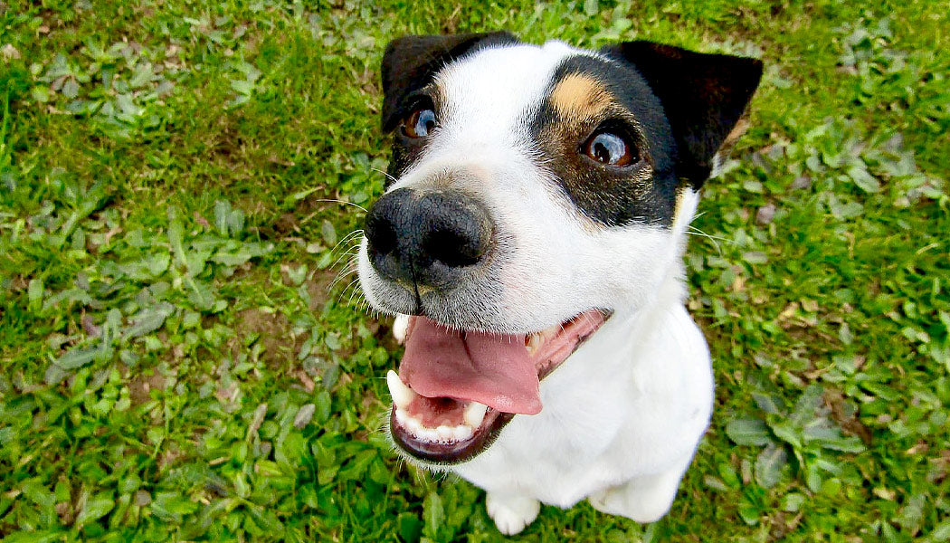 close up of a Jack Russel Terrier