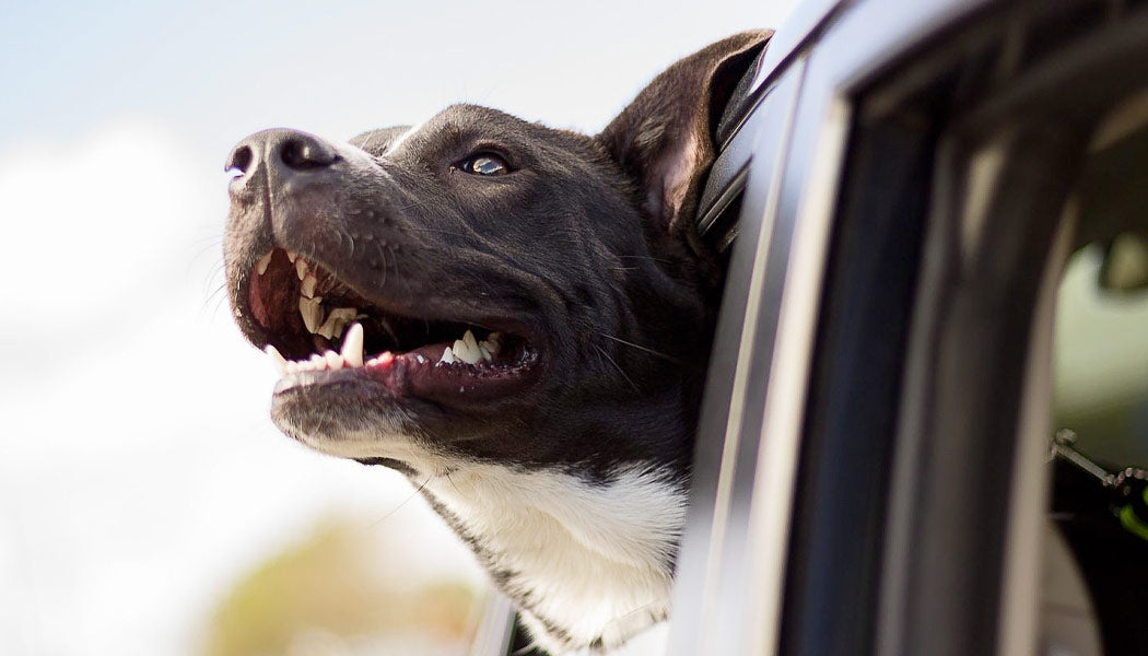 A happy dog sticking his head out of the car window
