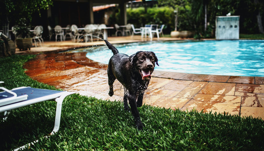 Wet dog running by pool