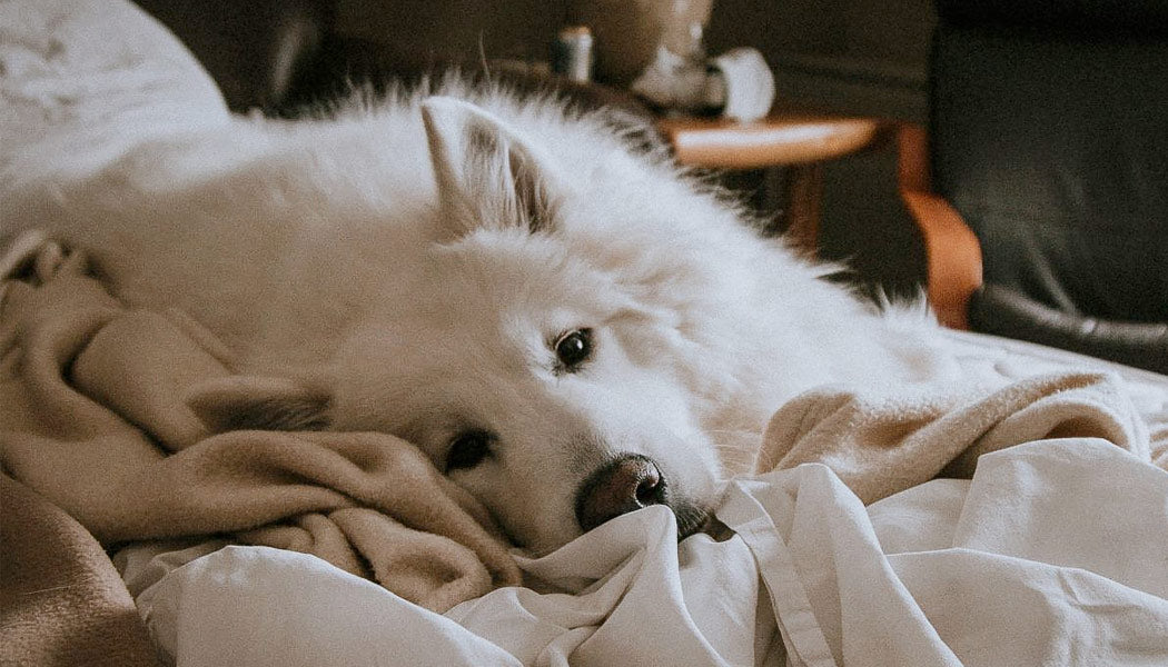 A big, white dog is lying on an unmade bed.