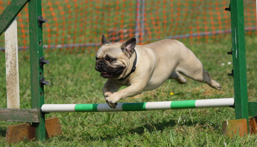 Dog on an obstacle course