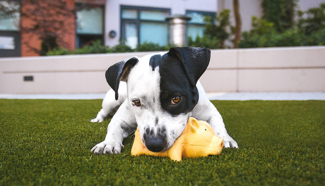 Dope dog playing with toy pig
