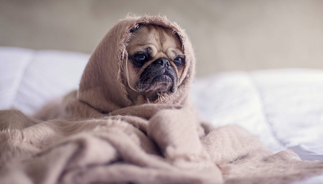 a Dog wrapped in blanket feels safe
